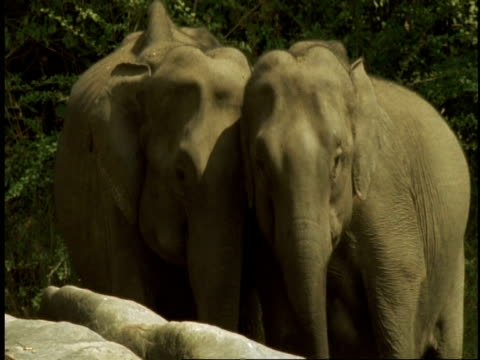 ms asian elephants, elephas maximus, pair of elephants standing next to each other, front view, western ghats, india - 隣り合わせ点の映像素材/bロール