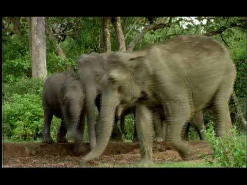 Asian Elephants (Elephas maximus) herd at salt lick, Bandipur, Nagarahole, India
