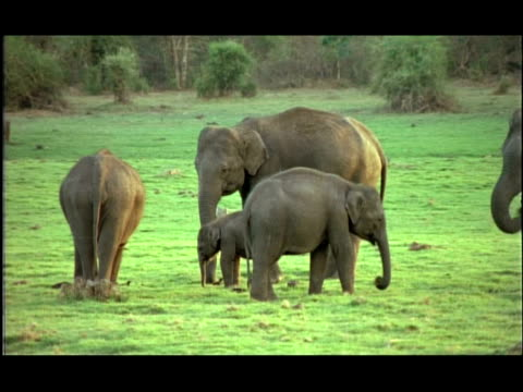 asian elephants (elephas maximus) herd in grassy clearing, kabini, nagarahole, india - medium group of objects stock videos & royalty-free footage