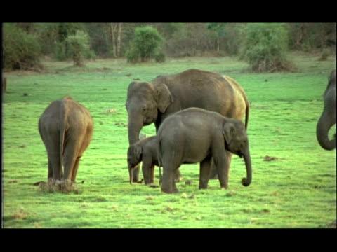 asian elephants (elephas maximus) herd in grassy clearing, kabini, nagarahole, india - einige gegenstände mittelgroße ansammlung stock-videos und b-roll-filmmaterial
