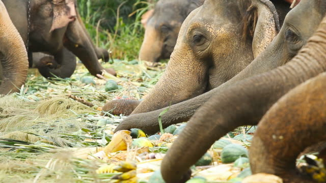 Asian Elephants in Thailand