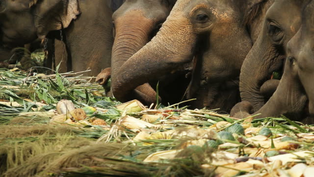 asian elephants in thailand - chiang rai province stock videos and b-roll footage