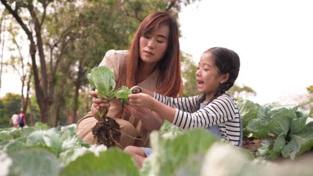 asian family harvesting vegetables from garden, mother teach her daugther doing - picking harvesting stock videos & royalty-free footage
