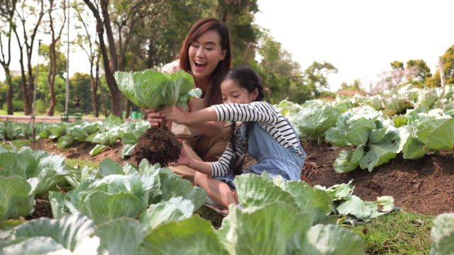 asian family with one child harvesting vegetables from the organic garden. mother and daughter wearing casual clothes picking salad vegetables from the soil on a summer morning. concept of teaching a sustainable lifestyle and gardening. - harvesting stock videos & royalty-free footage