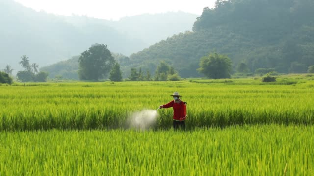 asian farmer peasantry spraying pesticides in rice fields. - asian style conical hat stock videos & royalty-free footage