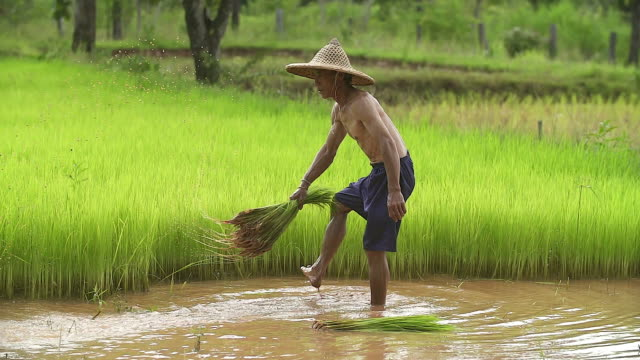 asian farmer transplant rice seedlings in rice field,farmer planting rice in the rainy season,asian farmer is withdrawn seedling and kick soil flick of before the grown in paddy field,thailand. - cereal plant stock videos and b-roll footage