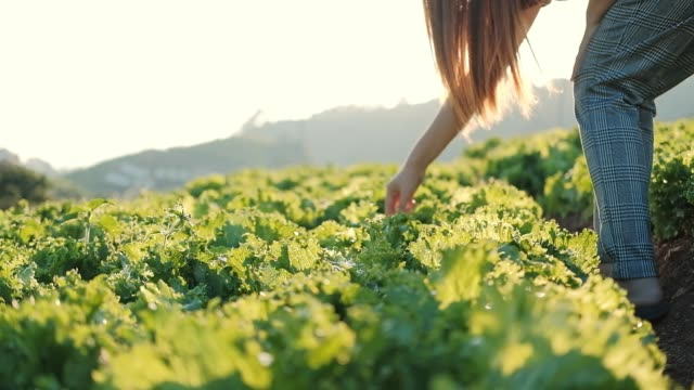 asian farmer woman checking cabbage in cauliflower farm - active lifestyle stock videos & royalty-free footage
