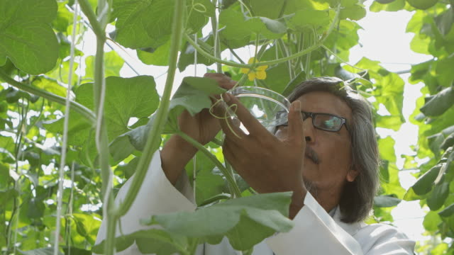 asian farmers pollinate from melon pollen for propagation - climate scientist stock videos & royalty-free footage