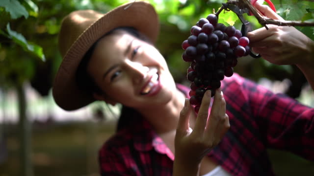 asian farmers woman harvesting ripe grape in farm and smiling - winemaking stock videos & royalty-free footage