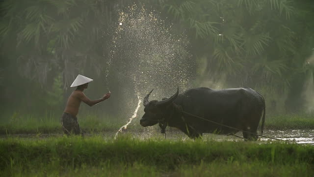 asian farmers working with buffalo and his son sitting on a buffalo. - rice paddy stock videos and b-roll footage