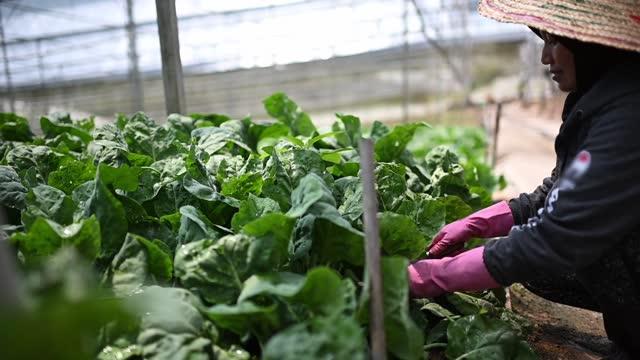 温室でケール植物を収穫するアジアの女性農家 - グリーンハウス点の映像素材/bロール