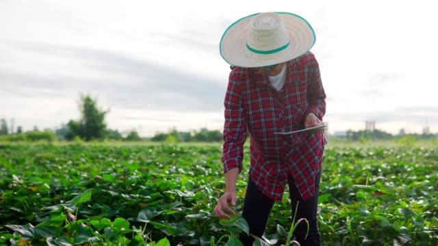 vídeos de stock, filmes e b-roll de agricultora asiática está no campo vegetal, agricultora agrônoma usando tablet digital em jovem campo vegetal verde em conceito de agricultura inteligente moderna - soja