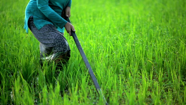 Asian female working in rice field Java Indonesia