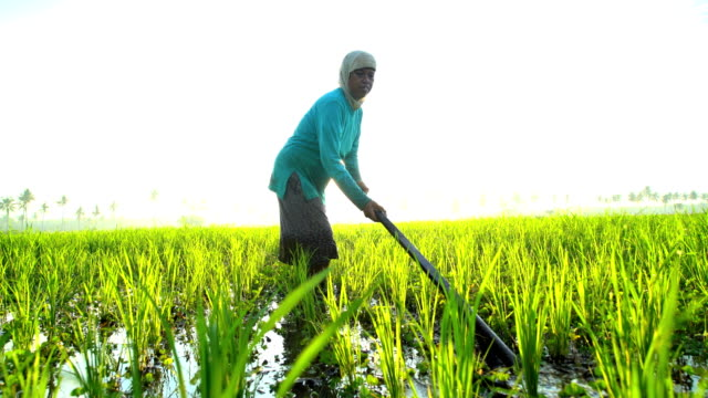 Asian female working in rice fields Java Indonesia