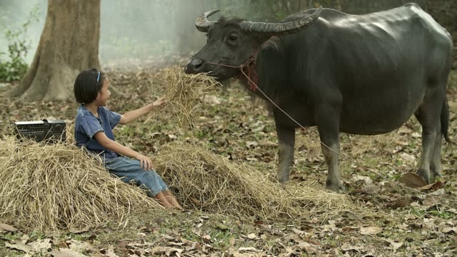 asian girl feeding dry grass to her buffalo at countryside, countryside lifestyle concept. - women doing farm animals stock videos and b-roll footage
