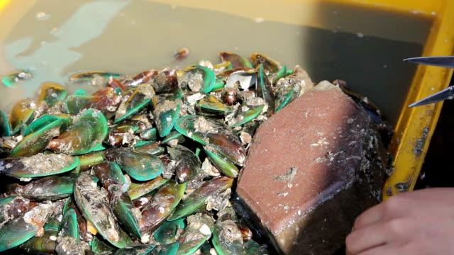Asian green mussel.