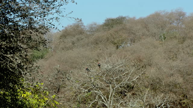 asian king vultures in dry thorn forest - とげのある点の映像素材/bロール