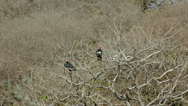 asian king vultures watching around from top of tree - sharp stock videos & royalty-free footage