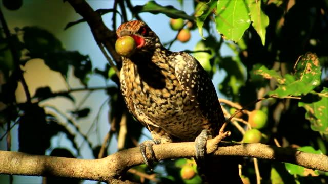 vídeos y material grabado en eventos de stock de asian koel (eudynamys scolopaceus), female feeding on berry - frutas del bosque