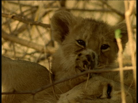 asian lion cub grooms itself - 動物の口点の映像素材/bロール