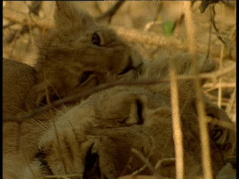 Asian lion cub grooms mother
