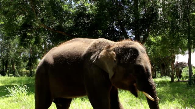 小さなアジア象 - 厚皮動物点の映像素材/bロール
