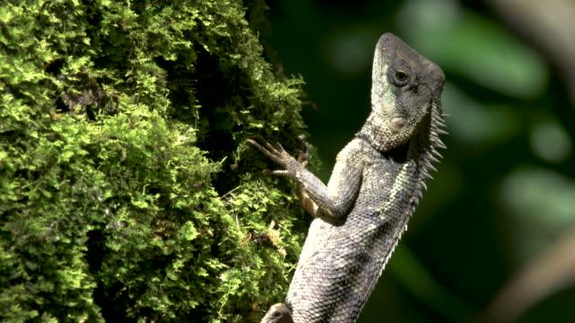 Asian Lizard, Tad Kuang Si National Park