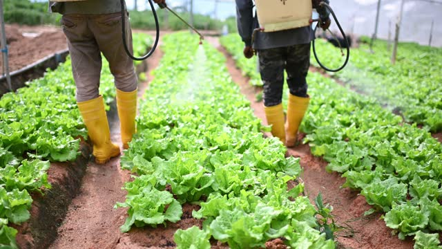 2 asian male farmer watering cabbage farm in the morning - insecticide stock videos & royalty-free footage