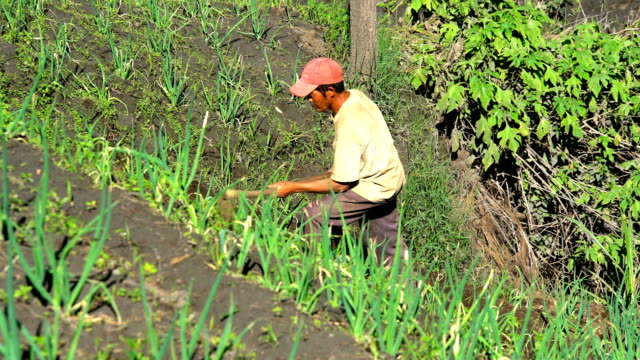 asian male growing rice and vegetables java indonesia - irrigation equipment stock videos & royalty-free footage