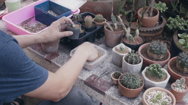 vidéos et rushes de homme asiatique cactus collecteur plantant l'arbre vert dans le nouveau pot dans le jardin d'arrière-cour à la maison. nouveau concept de style de vie normal de travailler à partir de la maison.4k ralenti. - cactus pot