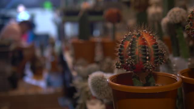 vidéos et rushes de homme asiatique cactus collecteur plantant l'arbre vert dans le nouveau pot dans le jardin d'arrière-cour à la maison - cactus pot
