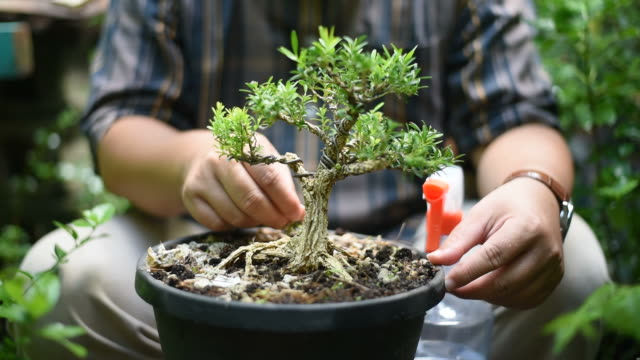 asian man is taking care his bonsai in the garden. - pruning stock videos & royalty-free footage