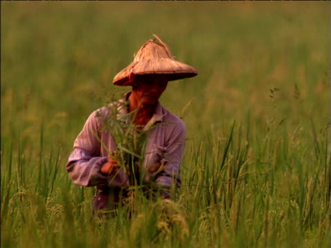 asian man ties bundle of rice plants standing in field, china - reis grundnahrungsmittel stock-videos und b-roll-filmmaterial