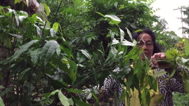asiatiskapojke gammal kvinna plockning baegu eller gnetum gnemon l. var. tenerum markgr. träd löv - var bildbanksvideor och videomaterial från bakom kulisserna