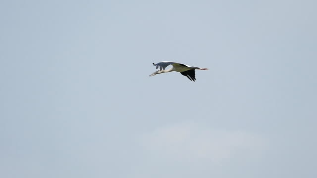 asian openbill bird flying in blue sky, - heron stock videos & royalty-free footage