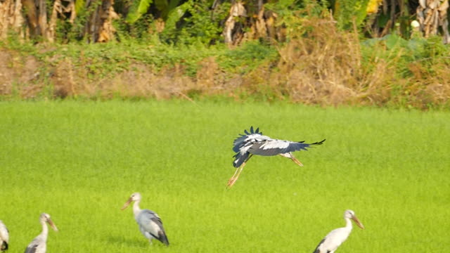 Asian Openbill Vogelfliegen.