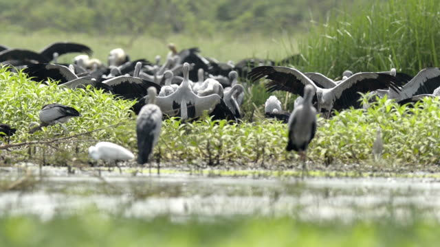asian openbill stork (anastomus oscitans) group finding the food - postal stamp stock videos and b-roll footage