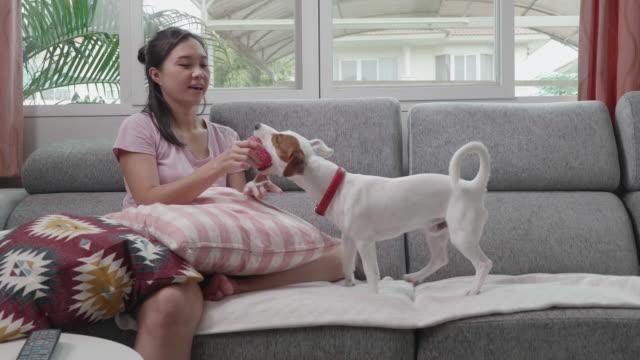 vídeos de stock, filmes e b-roll de dono asiático segurando bola rosa para jogar com seu cão jack russell - terrier