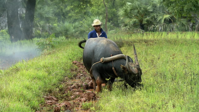 asian paddy farmer plowing the rice fields the traditional way by his buffalo in preparation for the rainy season - plough stock videos & royalty-free footage