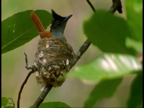 ms asian paradise flycatcher, terpsiphone paradisi, building nest, bandhavgarh national park, india - national icon stock videos & royalty-free footage