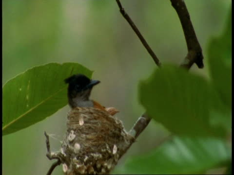 ms asian paradise flycatcher, terpsiphone paradisi, in nest flies off, bandhavgarh national park, india - national icon stock videos & royalty-free footage