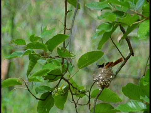 ms asian paradise flycatcher, terpsiphone paradisi, on nest, bandhavgarh national park, india - national icon stock videos & royalty-free footage