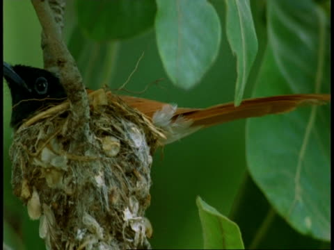 cu asian paradise flycatcher, terpsiphone paradisi, on nest, bandhavgarh national park, india - national icon stock videos & royalty-free footage