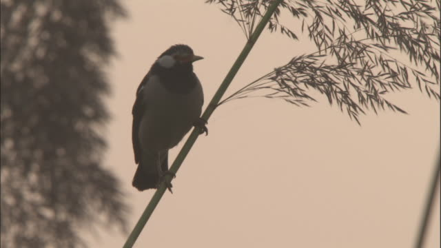 Asian pied starling perched on stem of grasses at sunset, Sonepur, India Available in HD.