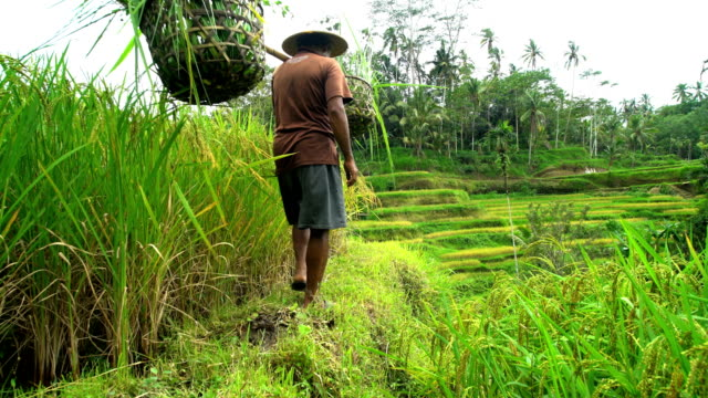 asian rice farmer carrying crops in baskets bali - rice plant stock videos and b-roll footage