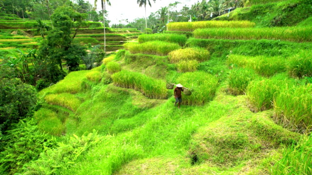 vidéos et rushes de asian rice farmer carrying crops in baskets bali - bamboo plant