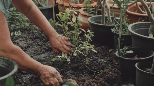 asian senior woman planting green seedling in garden. - botany stock videos & royalty-free footage