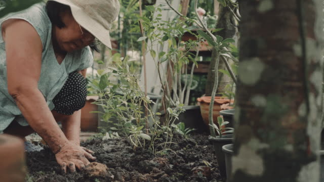 Asian senior woman planting green seedling in garden.