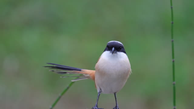 asian shrike - zoology stock videos & royalty-free footage