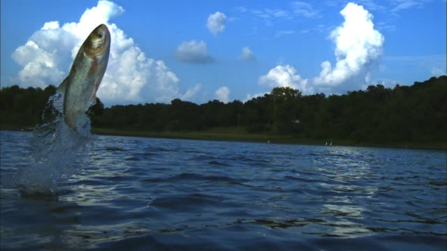 stockvideo's en b-roll-footage met slomo tu asian silver carp jumping vertically out of river - zilver